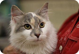 Calico Kitten for adoption in Alexandria, Virginia - Ginny