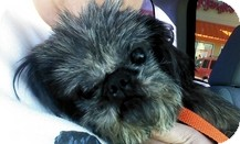 Shih Tzu Dog for adoption in Spring City, Tennessee - Mr Wiggles