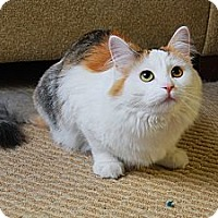 Adopt A Pet :: Jin - Chicago, IL