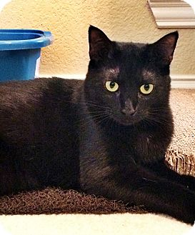 Domestic Shorthair Cat for adoption in Plano, Texas - CARRAWAY - SWEET HOUSE PANTHER