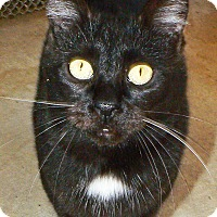 Domestic Shorthair Cat for adoption in Converse, Texas - Snow Ball