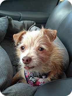 Terrier (Unknown Type, Small) Mix Dog for adoption in Charlotte, North Carolina - Pinto Bean