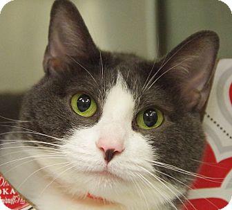 Domestic Shorthair Cat for adoption in Daytona Beach, Florida - Floppo