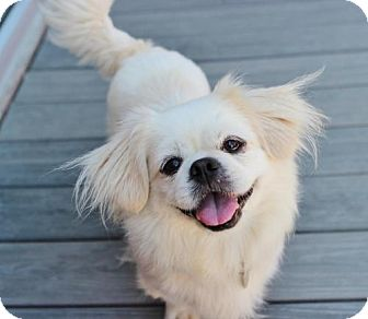 Pekingese Dog for adoption in Atlanta, Georgia - Tesla