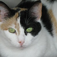 Calico Cat for adoption in South Amana, Iowa - Gracie
