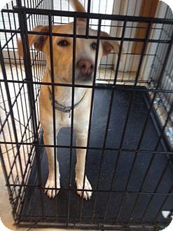 Golden Retriever/Feist Mix Puppy for adoption in Levittown, New York - Ekola