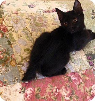 Manx Kitten for adoption in Gainesville, Florida - Harlow