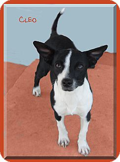 Dachshund/Terrier (Unknown Type, Small) Mix Dog for adoption in Hillsboro, Texas - Cleo