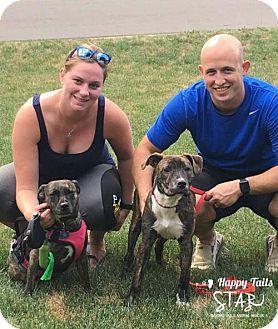 Boxer/Plott Hound Mix Puppy for adoption in Northville, Michigan - zGabi -ADOPTED