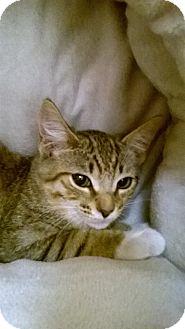Domestic Shorthair Kitten for adoption in Brea, California - S A L L Y