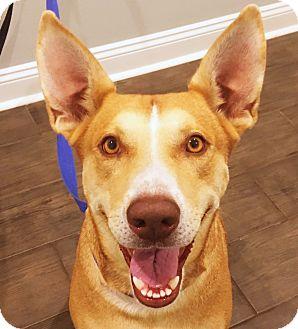 Labrador Retriever/Pharaoh Hound Mix Dog for adoption in Waggaman, Louisiana - Ember