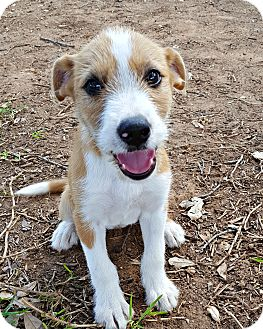 Terrier (Unknown Type, Small) Mix Puppy for adoption in McKinney, Texas - Meadow