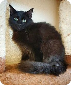Domestic Longhair Cat for adoption in Fredericksburg, Texas - Alex