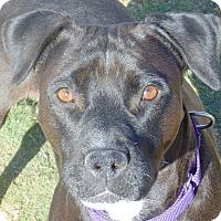 Labrador Retriever Mix Dog for adoption in Las Cruces, New Mexico - Schatzki