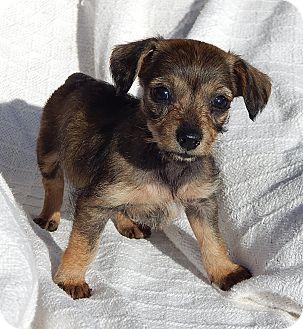 Dachshund/Border Terrier Mix Puppy for adoption in Williamsport, Maryland - Kelsie (1.5 lb) Video!
