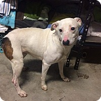 Adopt A Pet :: Zara *adoption pending* - Manassas, VA