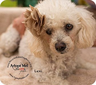 Poodle (Miniature) Mix Dog for adoption in Inland Empire, California - LEXI