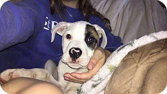 Boxer/Bulldog Mix Puppy for adoption in Fishkill, New York - Felix