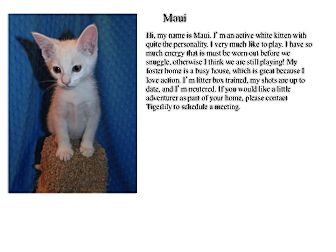 Domestic Shorthair Kitten for adoption in Sterling Heights, Michigan - Maui