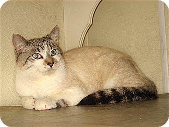 Siamese Cat for adoption in Sautee, Georgia - BooBerry