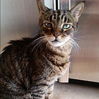 Domestic Shorthair Cat for adoption in Houston, Texas - Nene