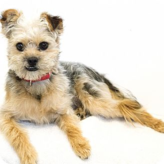 Yorkie, Yorkshire Terrier Mix Dog for adoption in Culver City, California - Kaiba