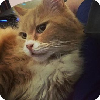 Domestic Longhair Cat for adoption in San Jose, California - Vinnie