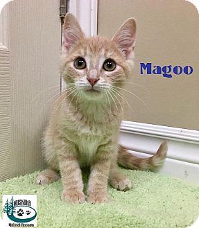 Domestic Shorthair Kitten for adoption in Huntsville, Ontario - Magoo - Cuddler!