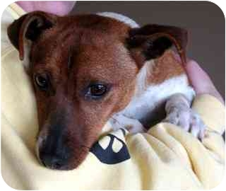 Jack Russell Terrier Dog for adoption in Fort Wayne, Indiana - Alan