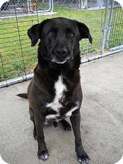 Labrador Retriever Mix Dog for adoption in Manning, South Carolina - Shrek