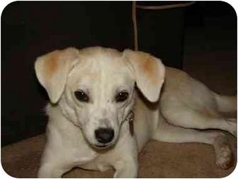 Jack Russell Terrier/Beagle Mix Dog for adoption in Cincinnati, Ohio - Gabbi