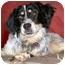 Photo 4 - English Setter/Australian Shepherd Mix Dog for adoption in Latrobe, Pennsylvania - Loraine