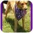 Photo 1 - Golden Retriever Dog for adoption in Bourg, Louisiana - Savannah