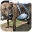 Photo 4 - Dutch Shepherd/Boxer Mix Dog for adoption in Richmond, Virginia - Muffin