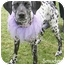 Photo 3 - Dalmatian Puppy for adoption in Mandeville Canyon, California - Smudge