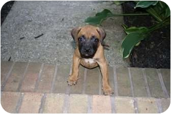 Boxer/Shepherd (Unknown Type) Mix Puppy for adoption in Reisterstown, Maryland - Toffee