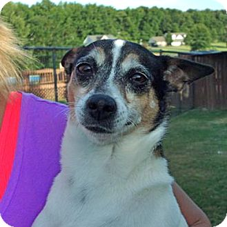 Rat Terrier Mix Dog for adoption in Preston, Connecticut - Baby Girl