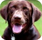 Labrador Retriever Dog for adoption in Wakefield, Rhode Island - HERSHEY(ONE GORGEOUS LAB!)WOW!