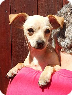 Chihuahua/Spaniel (Unknown Type) Mix Puppy for adoption in El Segundo, California - Alex