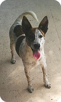 Rat Terrier Mix Dog for adoption in Jacksonville, Florida - Samurai Jack