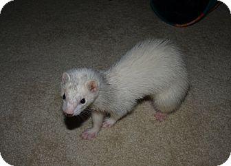 Ferret for adoption in Acworth, Georgia - Izzy