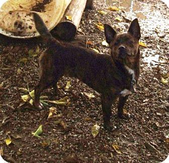 Corgi Mix Dog for adoption in Kalamazoo, Michigan - Bo