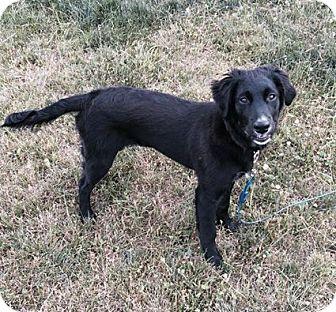 Border Collie/Labrador Retriever Mix Dog for adoption in Staunton, Virginia - Candy