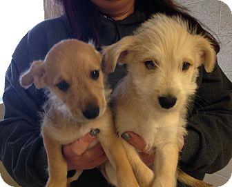 Schnauzer (Standard) Mix Puppy for adoption in Greensburg, Pennsylvania - Slim