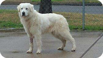 Great Pyrenees Dog for adoption in Croydon, New Hampshire - Carmenere