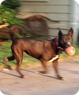 Akita/Australian Cattle Dog Mix Dog for adoption in Olivehurst, California - Rocky