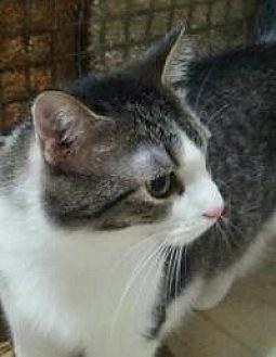 Domestic Shorthair Cat for adoption in Lexington, Kentucky - Francie