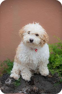 Poodle (Miniature) Mix Puppy for adoption in Poway, California - PRINCESS