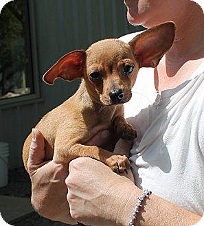 Chihuahua/Dachshund Mix Puppy for adoption in Marble, North Carolina - Rebel