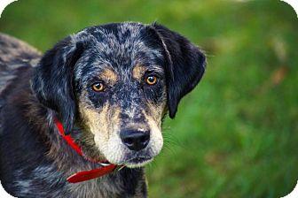 Australian Shepherd/Labrador Retriever Mix Dog for adoption in Chicago, Illinois - Luna*ADOPTED*